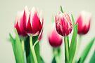 Tulips by smilyjay