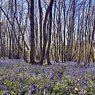 Kings Wood Bluebells by Bob Culshaw
