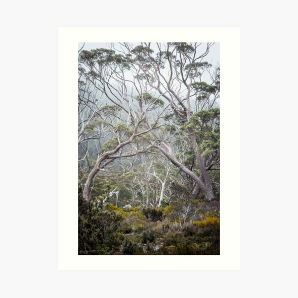 Mountain Gums Art Print