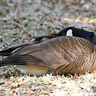 Canada Goose At Rest by Kathy Baccari
