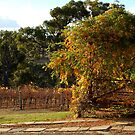 Vine Over The Pergola by Eve Parry