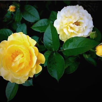 Yellow Rose 'Julia Child' by lindabeth