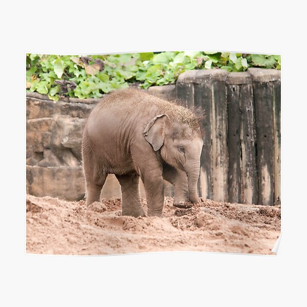Baby Elephant Photography  Poster