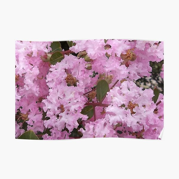 Cotton Candy Crepe Myrtle Tree Poster