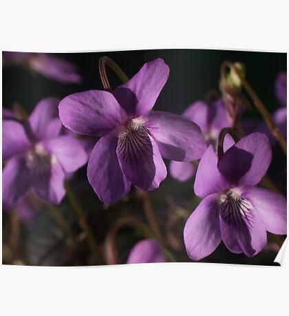 Sweet Violet Poster