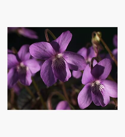 Sweet Violet Photographic Print