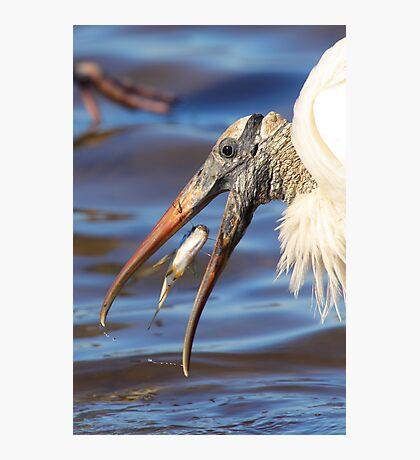 Nice Catch - Wood Stork Photographic Print
