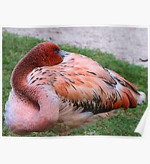 Sleeping flamingo Poster