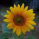 Home Sunflower by Stephen Monro