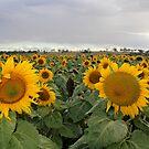 It's Sunflower Season by Stephen Monro