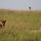 Lioness On Patrol by Stephen Monro