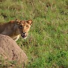 Lioness In Control by Stephen Monro