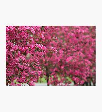 Blooming Trees in Orchard Photographic Print