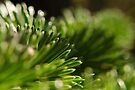 Glowing Pine Needles by William Martin