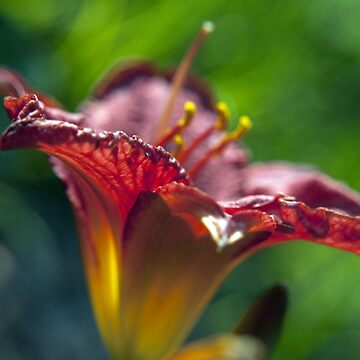 Red Day Lily in a Garden by William63