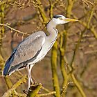 Grey Heron by M S Photography/Art