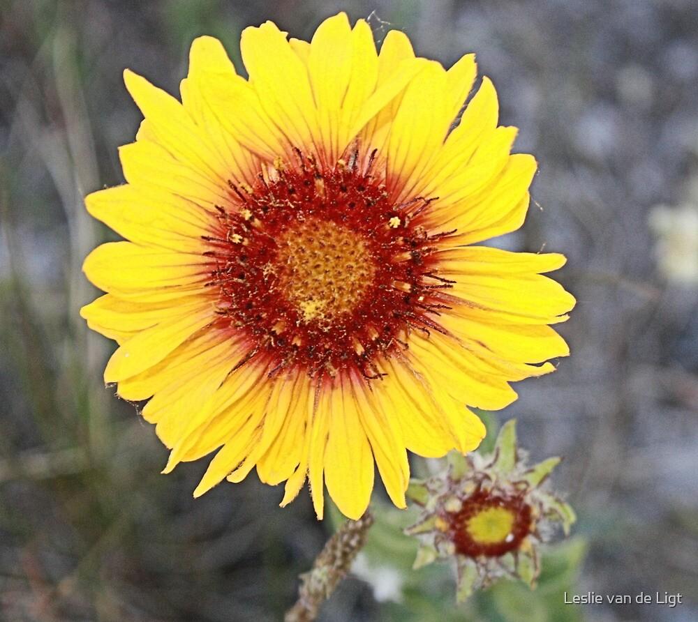 Blanket Flower (Gaillardia pulchella) by Leslie van de Ligt