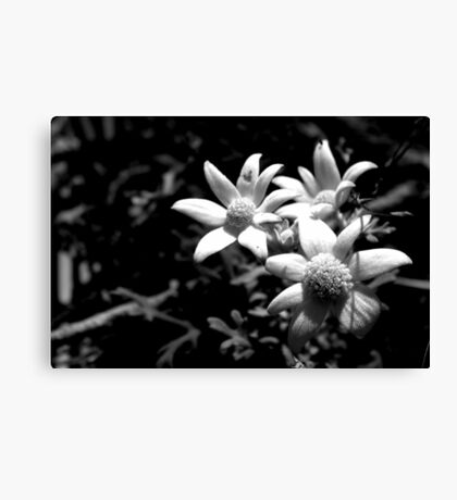 North Head Manly - Flannel Flower Canvas Print
