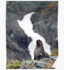 Young female Antarctic Fur Seal, South Georgia Poster
