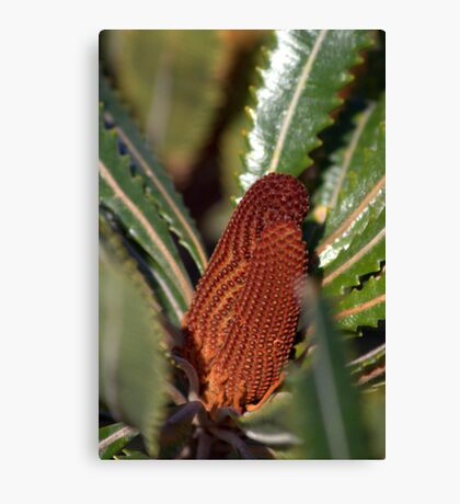 North Head Manly - Banksia Canvas Print