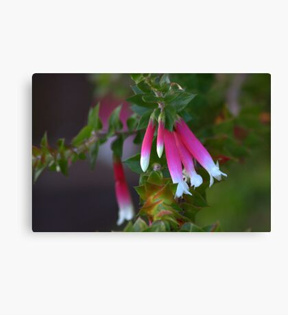 North Head Manly - Fuschia Heath Canvas Print