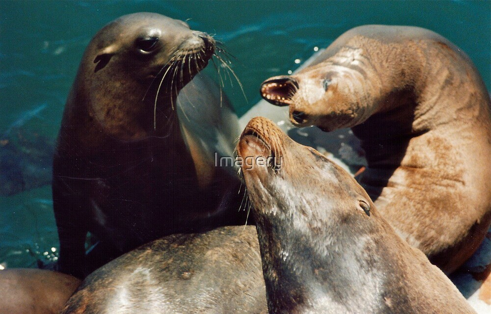 Seal Fight by Imagery