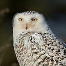 Snowy Owl - Amherst  by Daniel  Parent