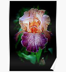 Vibrant Iris Flower Poster