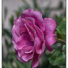 Australia Day Rose by JohnBoyzo