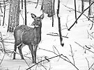 Snow Covered Doe by Marcia Rubin