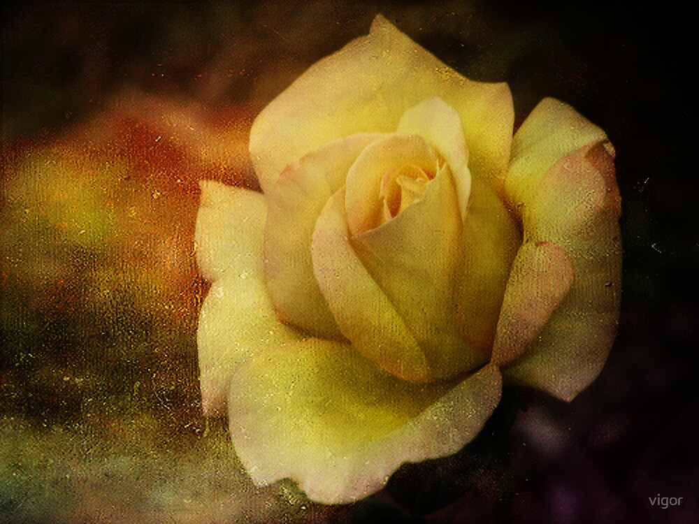 One Yellow Rose by vigor