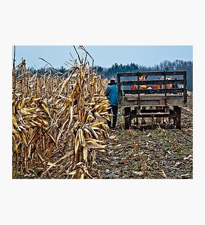 Amish Man picking corn Photographic Print