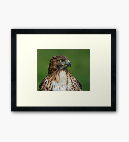 Profile of a Red Tailed Hawk Framed Print