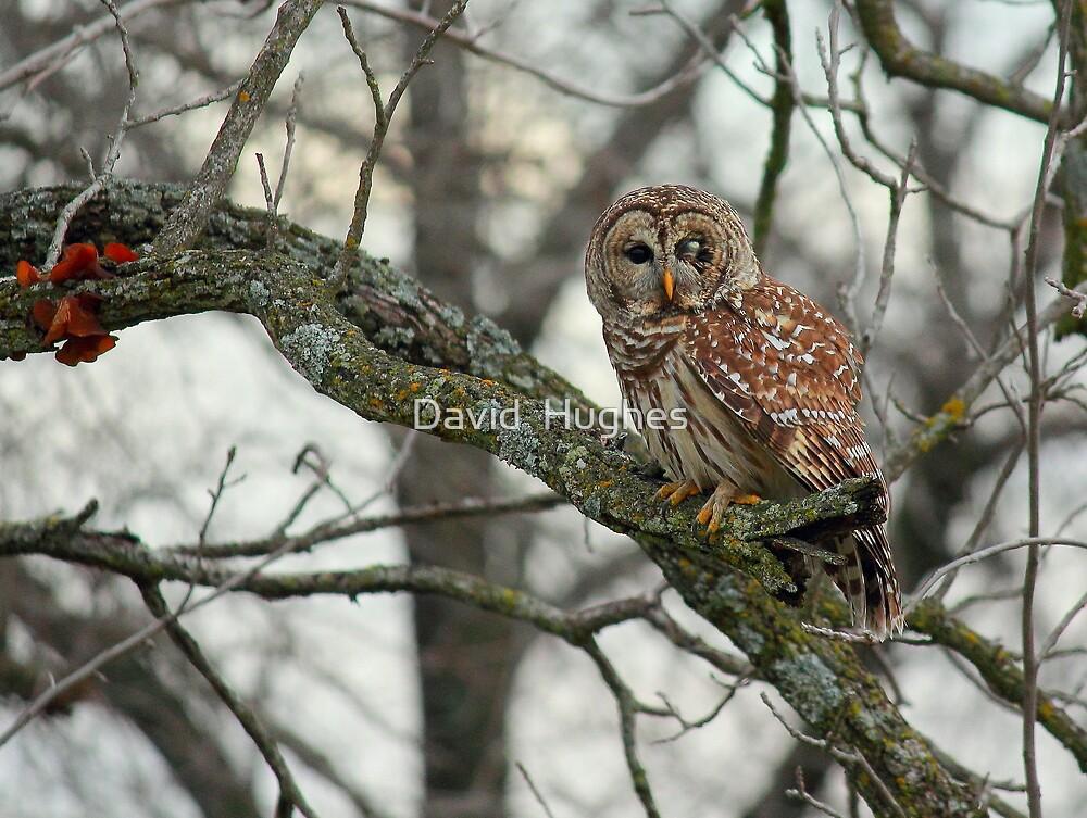 Curious One Eye'd Owl by David  Hughes