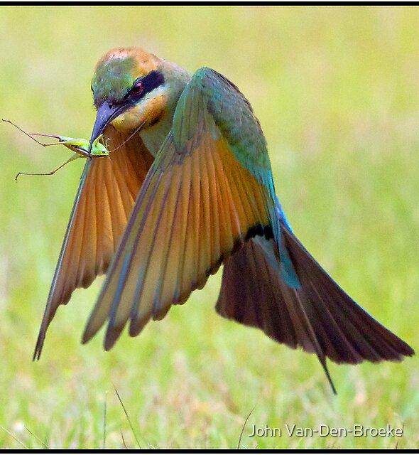 Rainbow Bee-Eater 457  Fingal  NSW by John Van-Den-Broeke