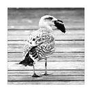 Baltic Sea gull by Falko Follert