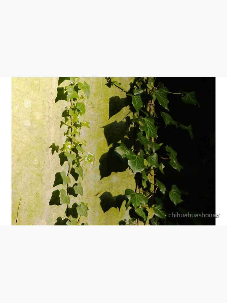 Trailing ivy on grave by chihuahuashower