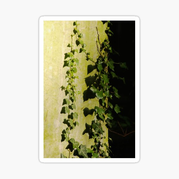 Trailing ivy on grave Sticker