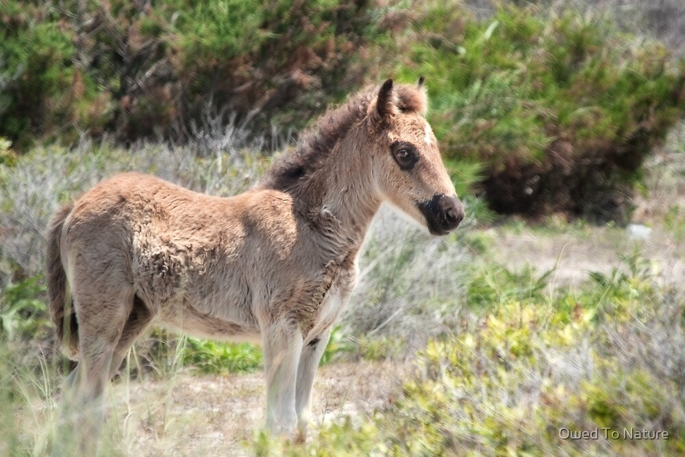 Shackleford foal by Owed To Nature
