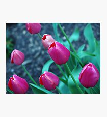 Blooming bright pink tulips. Photographic Print
