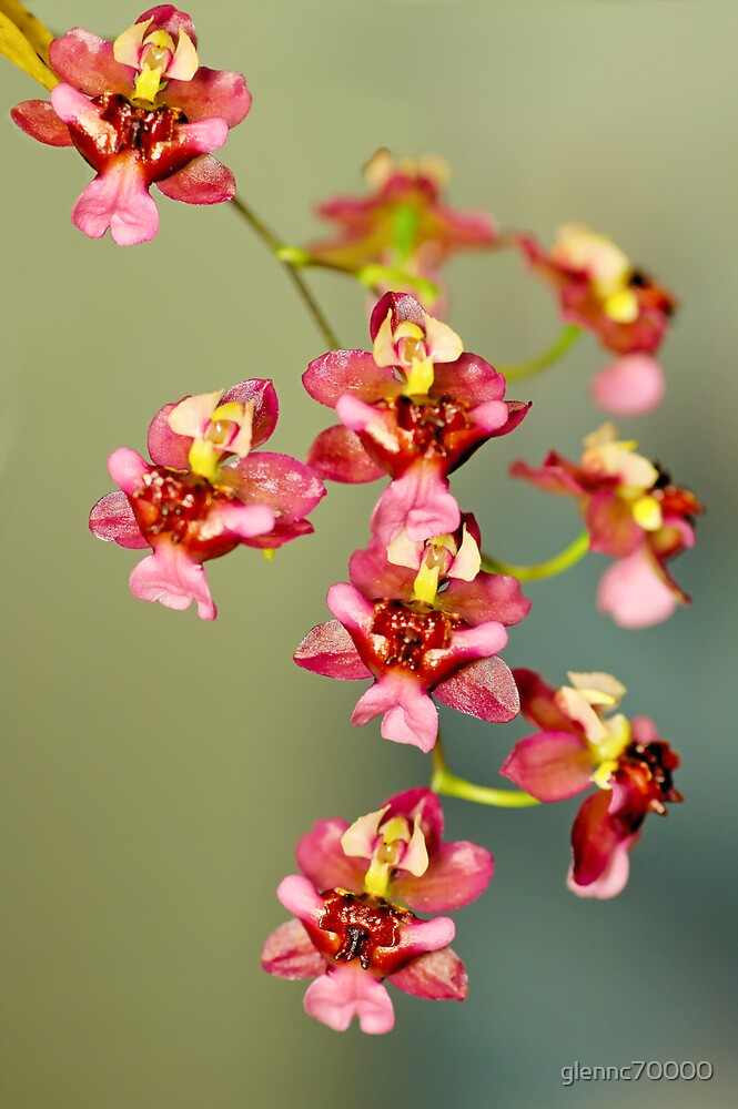Macro Orchids by glennc70000
