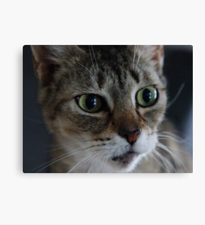 Transfixed Abyssinian  Canvas Print