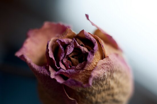 Rose of Days Past by Barry Doherty