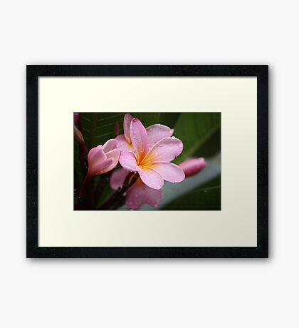 The Rains Are Here: Pink Frangipani Framed Print