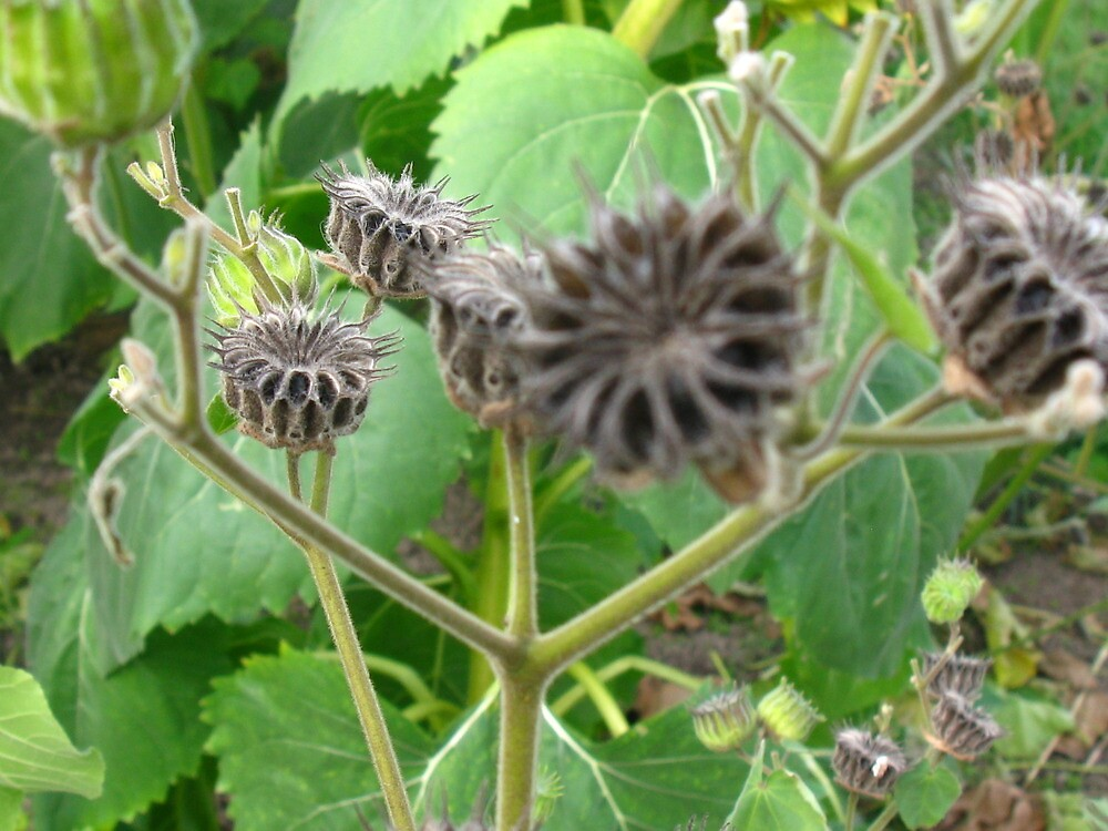 how to grow desert rose from seed pod