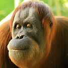 mama, orang-utan. melbourne zoo by tim buckley | bodhiimages