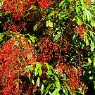 Illawarra Flame Tree - Drouin Gippsland by Bev Pascoe