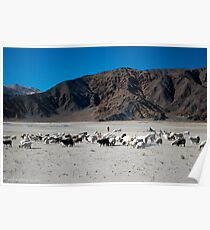 pashmina sheep Poster