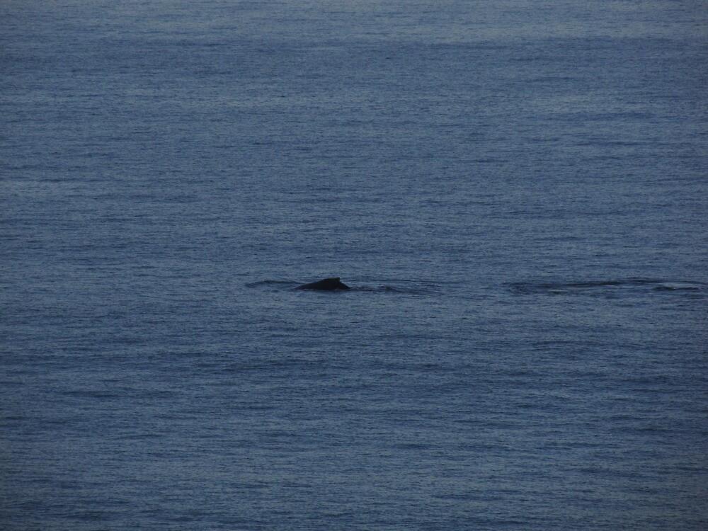A Humpback Whale in the early Morning - Una Ballena Jorobada en la Mañana by PtoVallartaMex