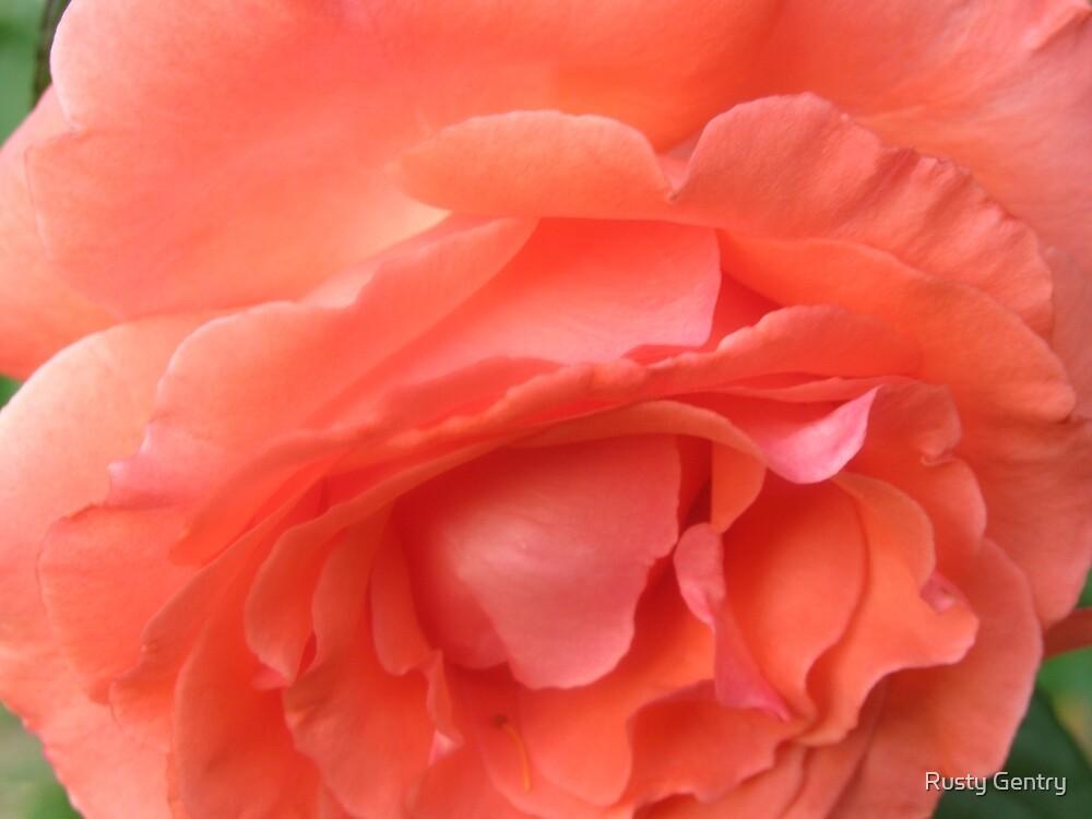 Macro of a Peach Rose in Full Bloom: Hope You Enjoy  by Rusty Gentry